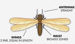 ant-vs-termite_termite