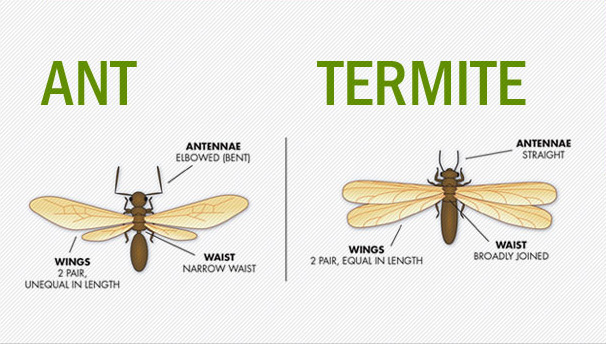 anatomical differences between ant and termite image